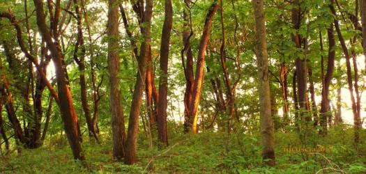 frances slocum trees